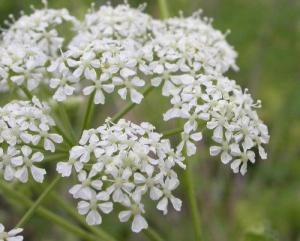 Болиголова настойка из цветков
