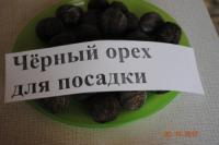 Орех чёрный